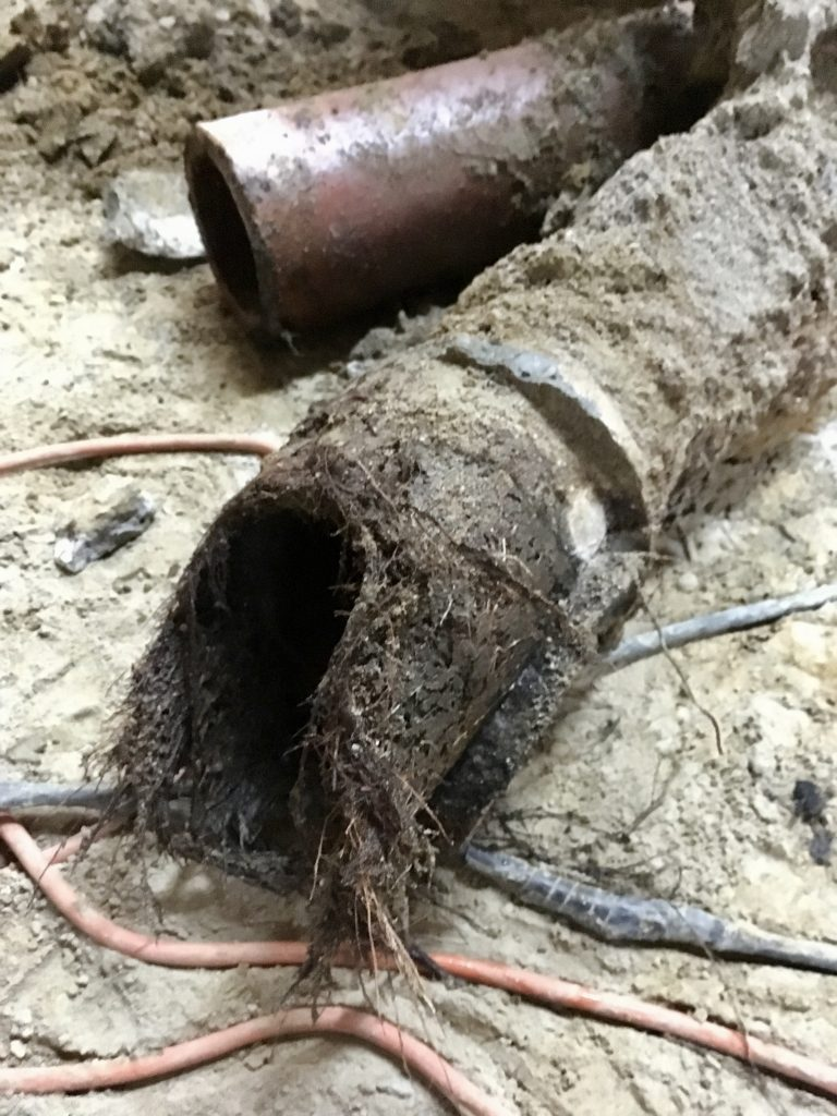 Roots in the old drain pipe.